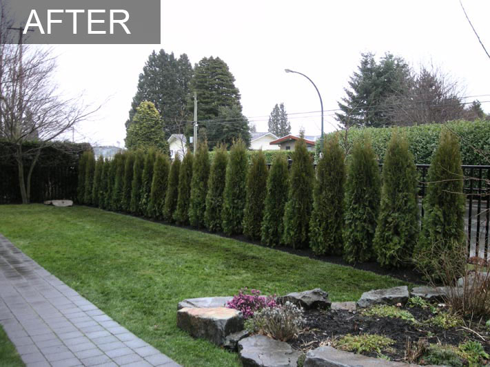 Cedar Hedge White Rock Bc Privacy Hedge Reduces Street